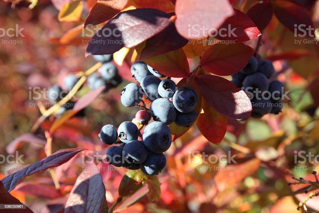 Blueberries in autumn stock photo