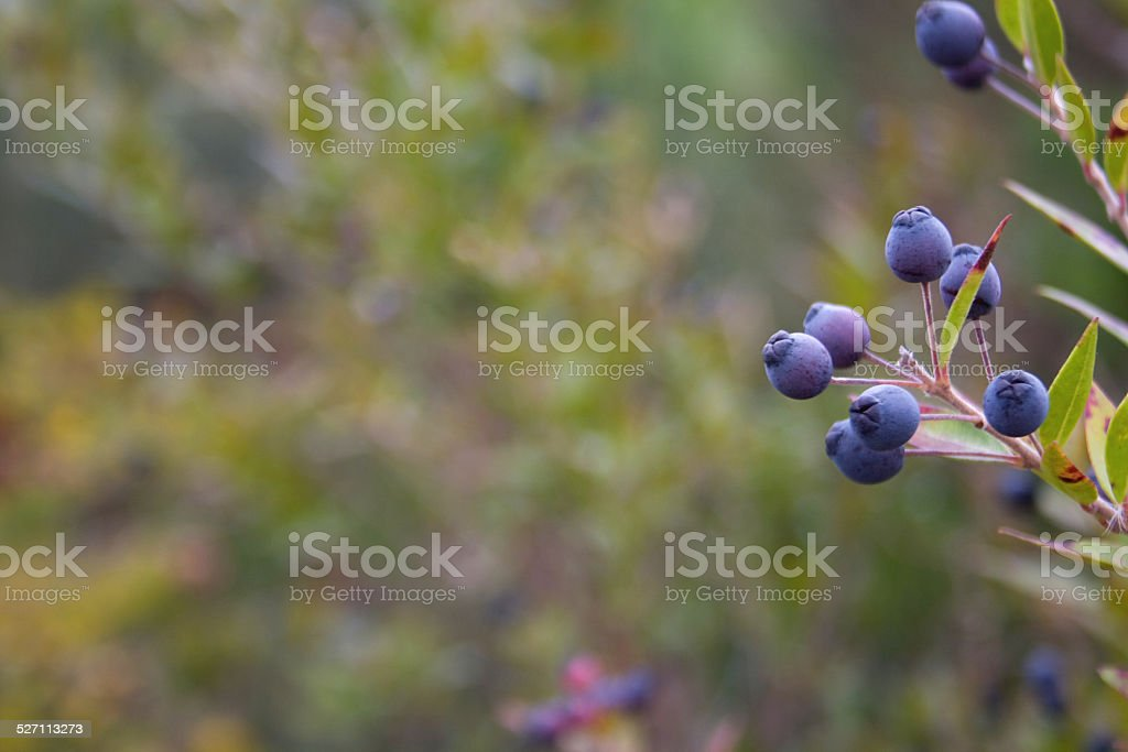Blueberries in nature stock photo