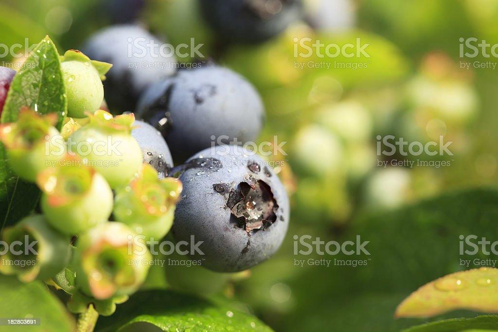 Blueberries on bush stock photo