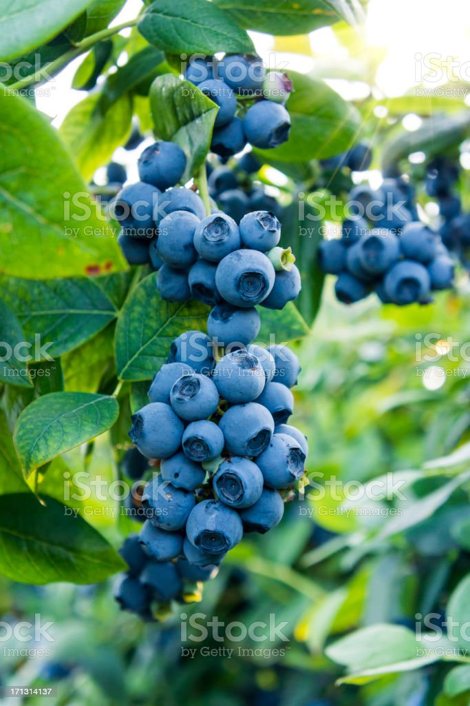 Blueberries ready for picking royalty-free stock photo