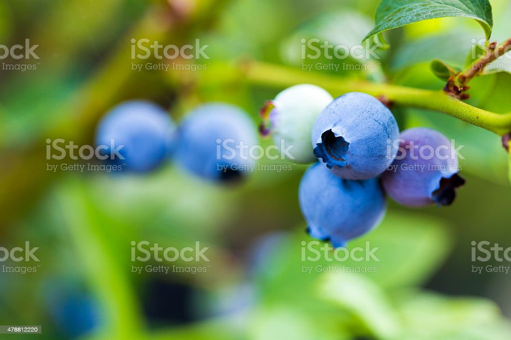 Blueberries ready for picking stock photo