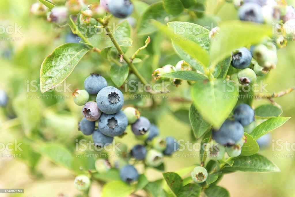 Blueberries Ripening on Bush royalty-free stock photo