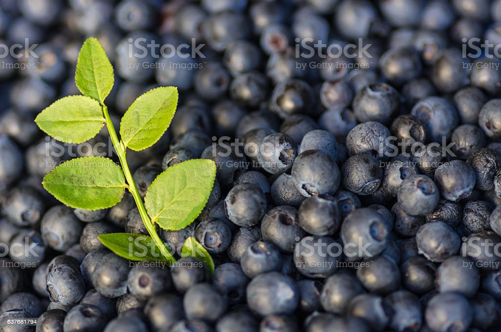 Blueberries with sprig stock photo
