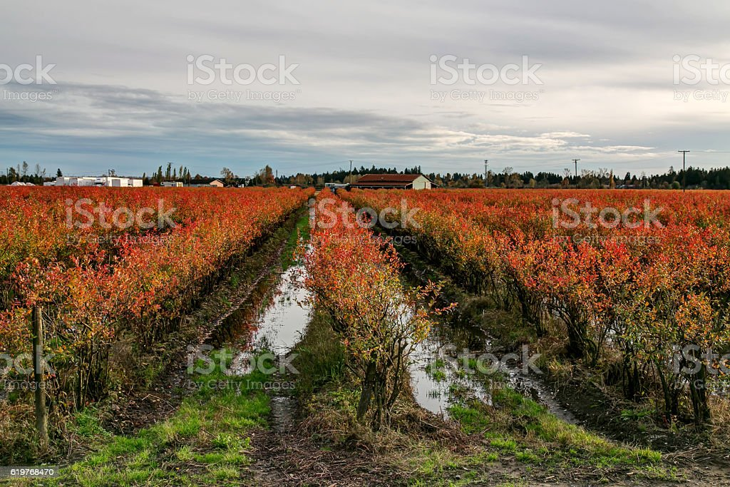 Blueberry Agricultural Farmland Fields in Red Autumn Colors stock photo