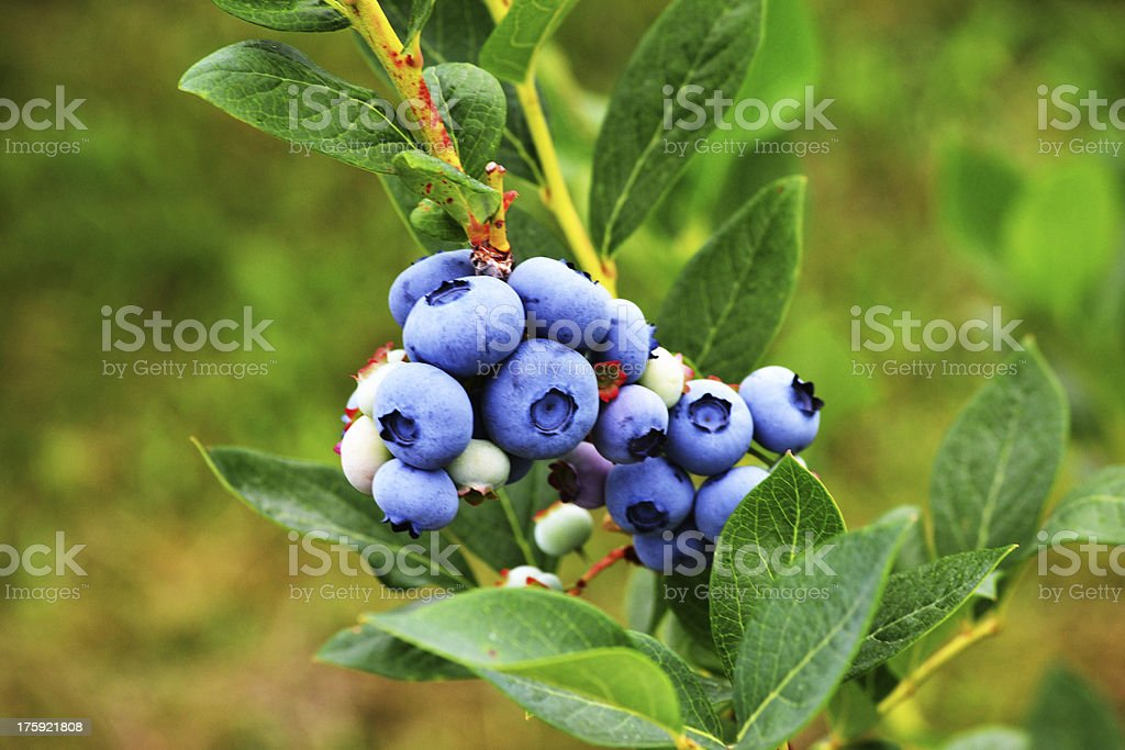 blueberry branch stock photo