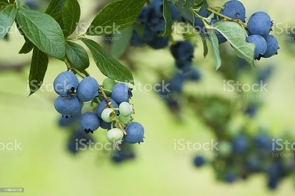 Blueberry branches stock photo