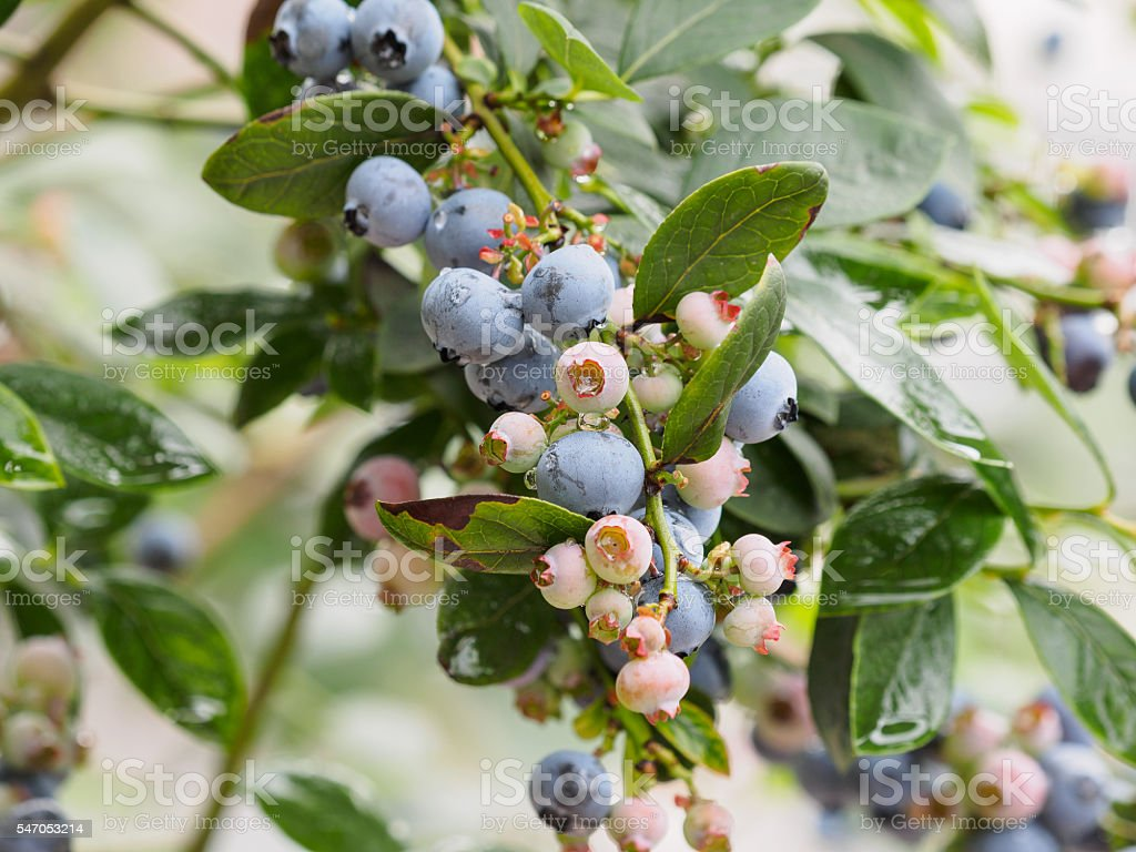 blueberry bunch on a blueberry bush stock photo