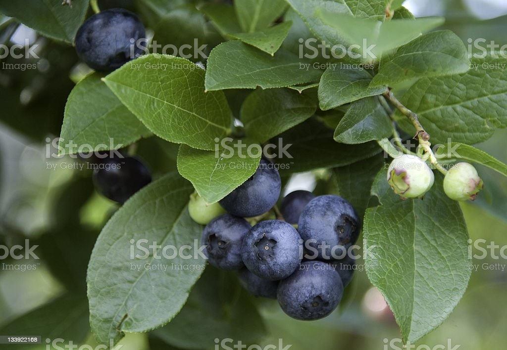 Blueberry Bunch stock photo