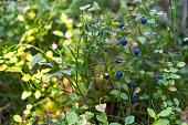 Blueberry bush in woods.
