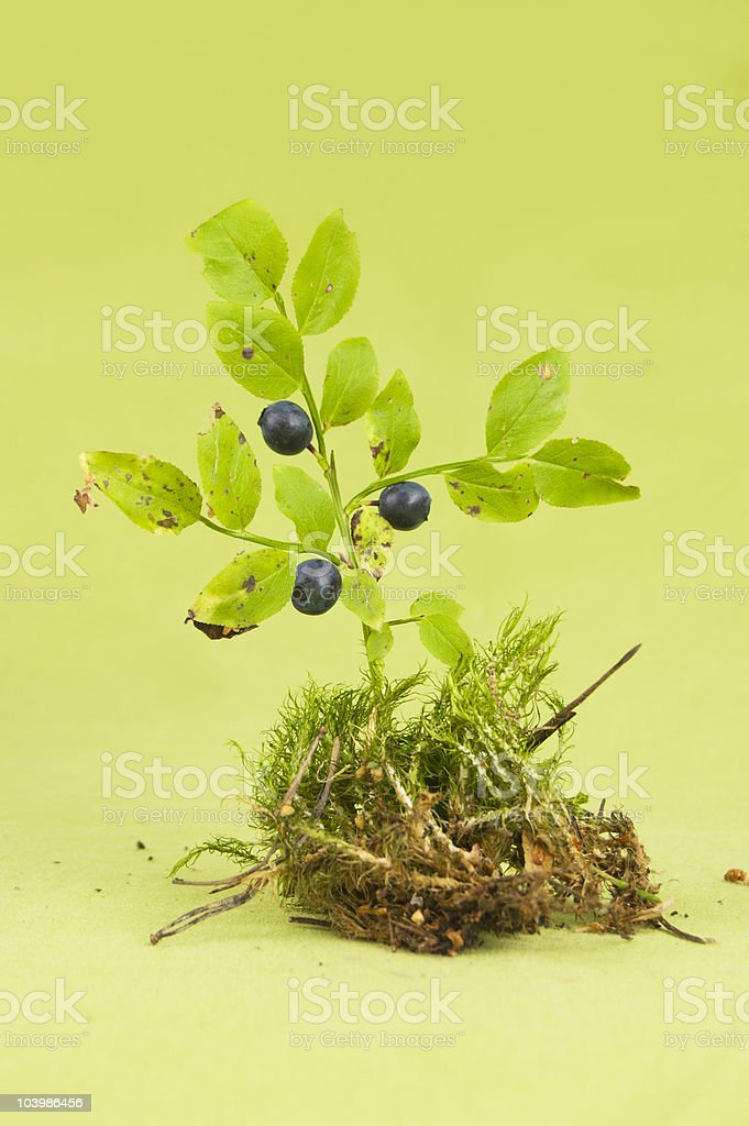 Blueberry bush stock photo