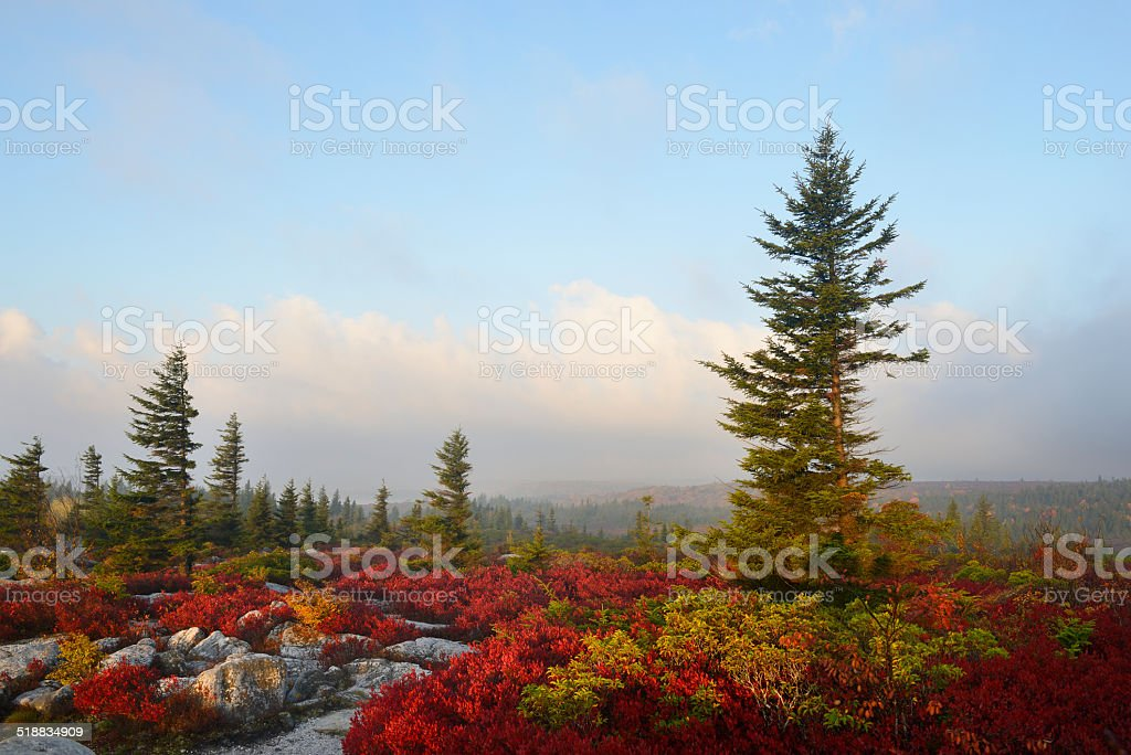 Blueberry Bushes in Fall stock photo