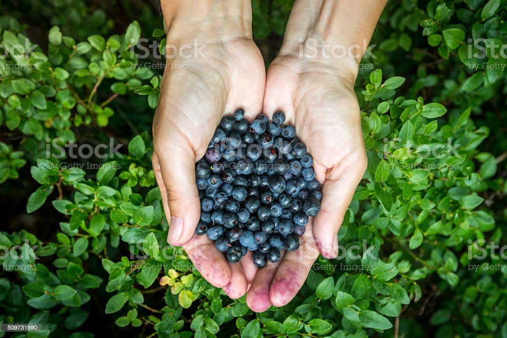 blueberry crop and its collection of arms stock photo