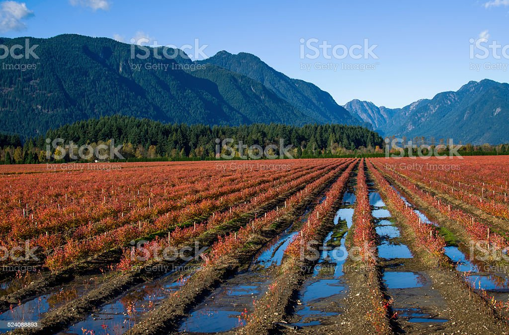 Blueberry fields stock photo