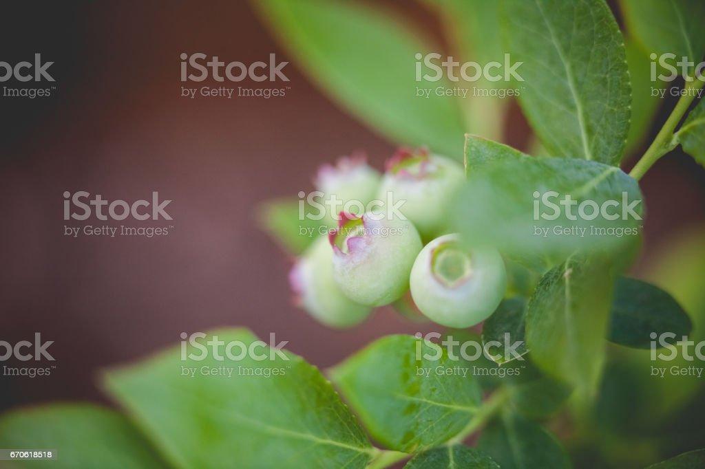 Blueberry Fruit stock photo