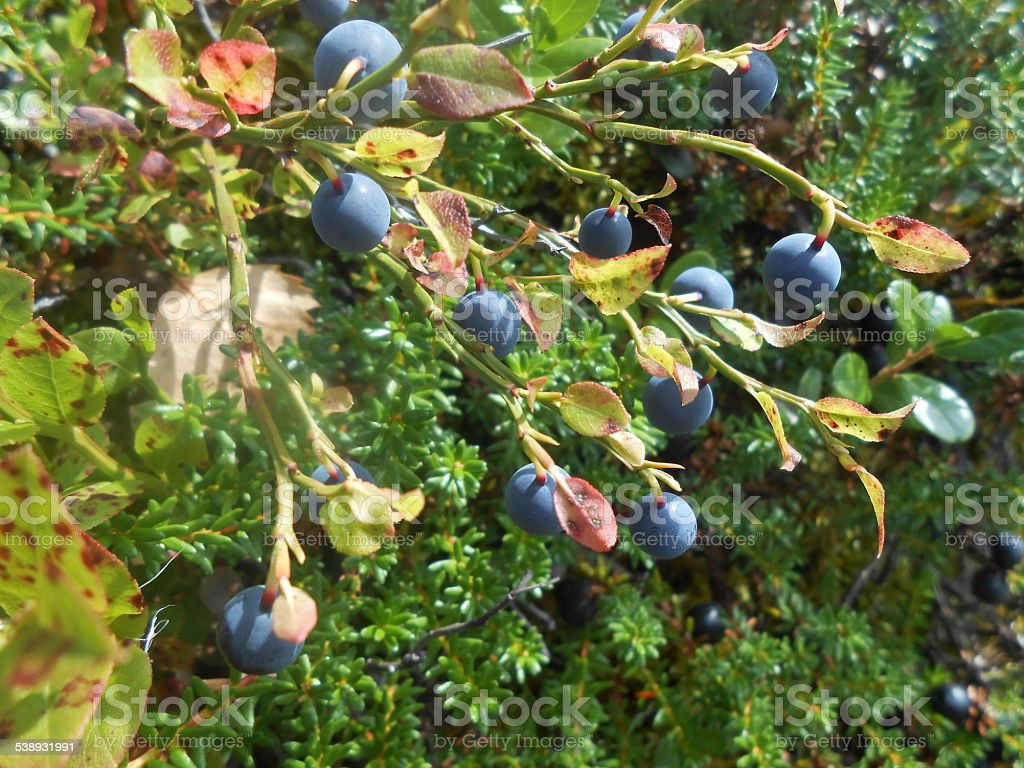 blueberry in forest stock photo