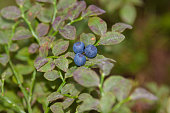 blueberry on a branch