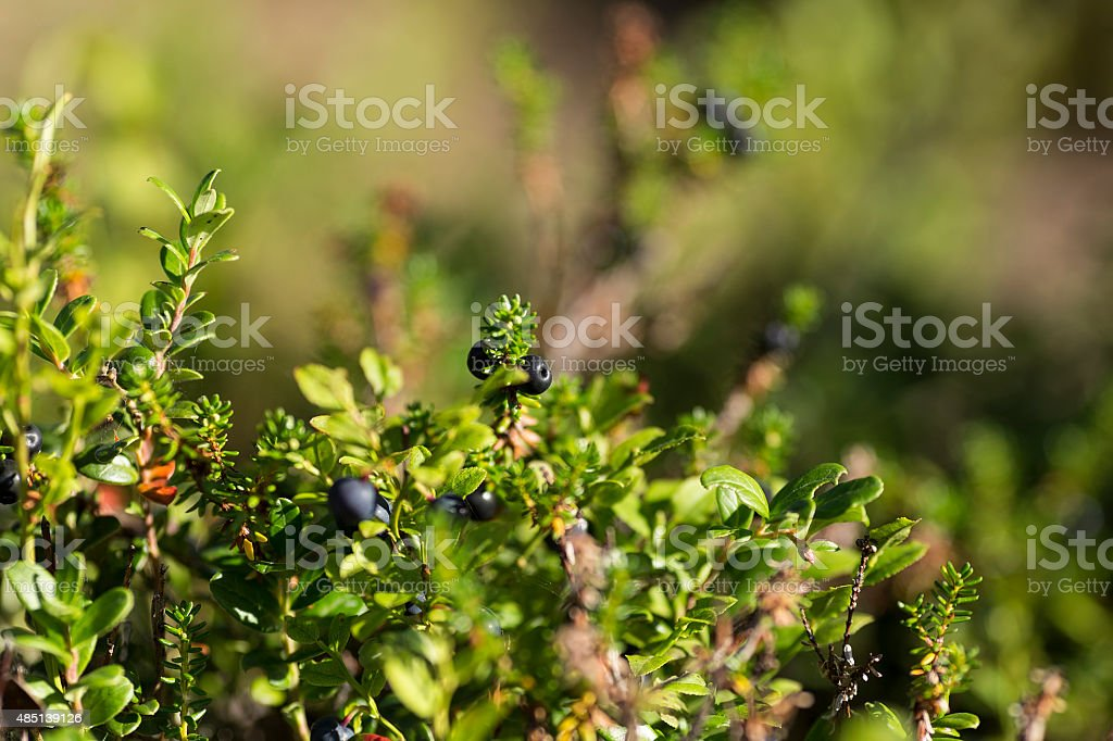 Blueberry on a plant royalty-free stock photo
