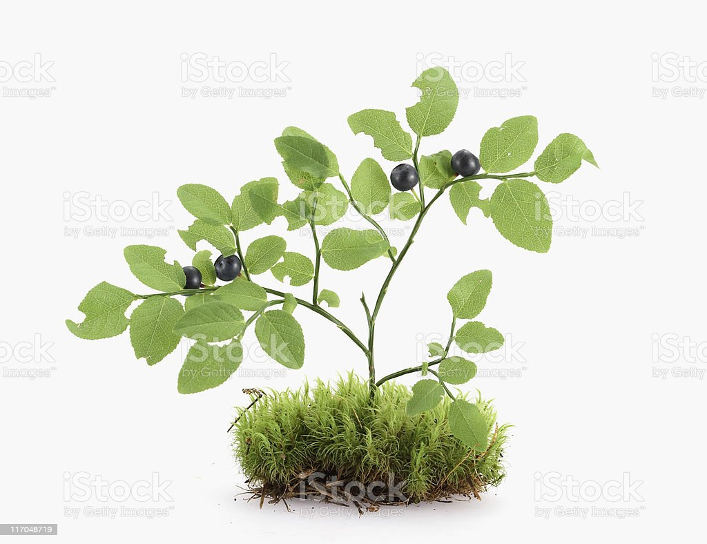 Blueberry On Moss royalty-free stock photo