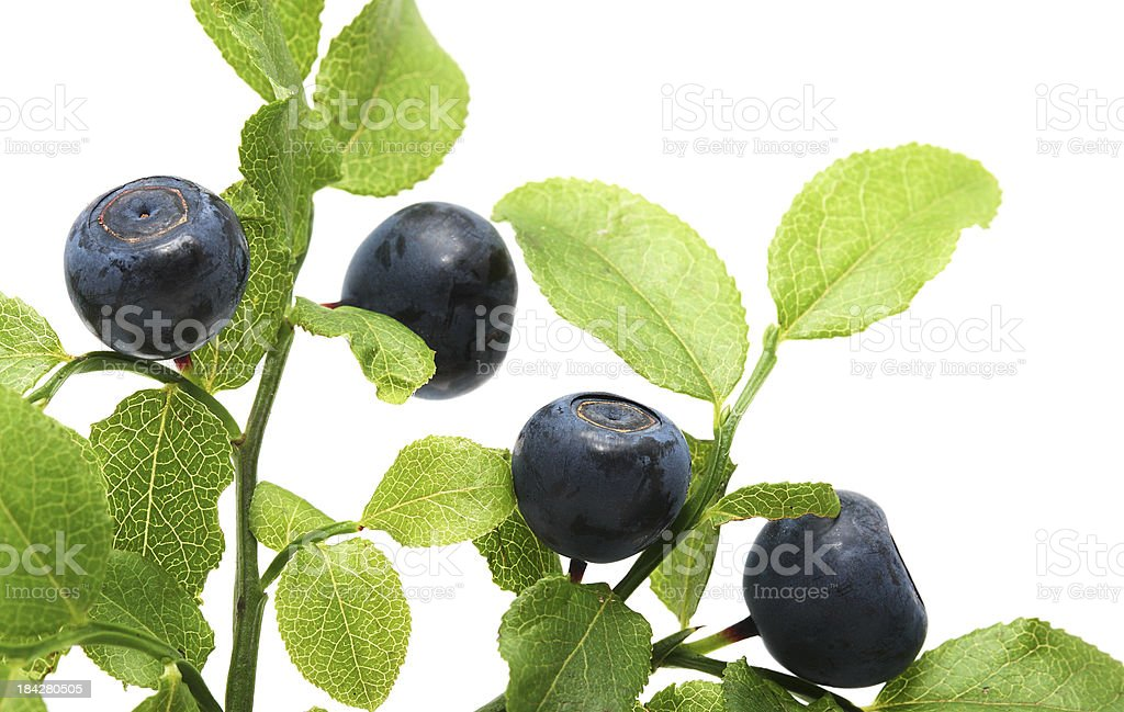 Blueberry on twig with leaves and white background stock photo