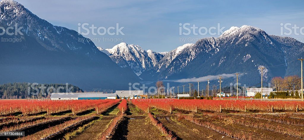 Blueberry plantation in a mountain valley stock photo