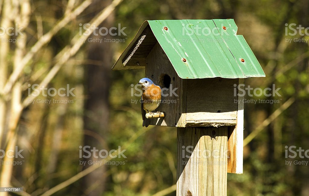 Bluebird at the birdhouse stock photo
