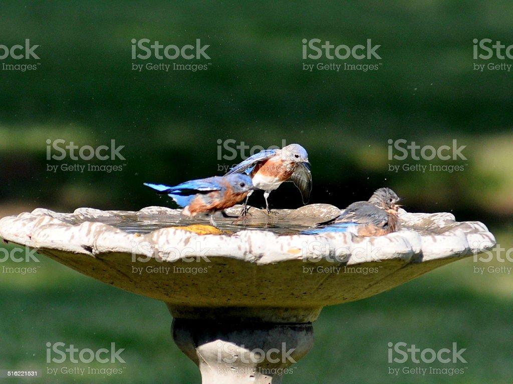 Bluebird baño, bluebirds espera su vez, baño para pájaros foto de stock libre de derechos