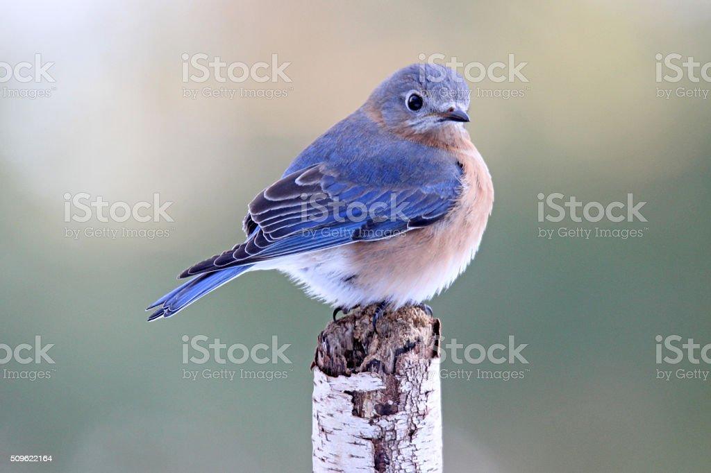 Bluebird Beauty stock photo