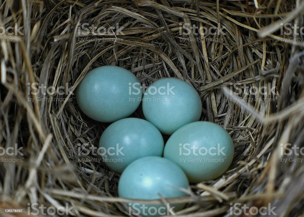 bluebird eggs on nest stock photo