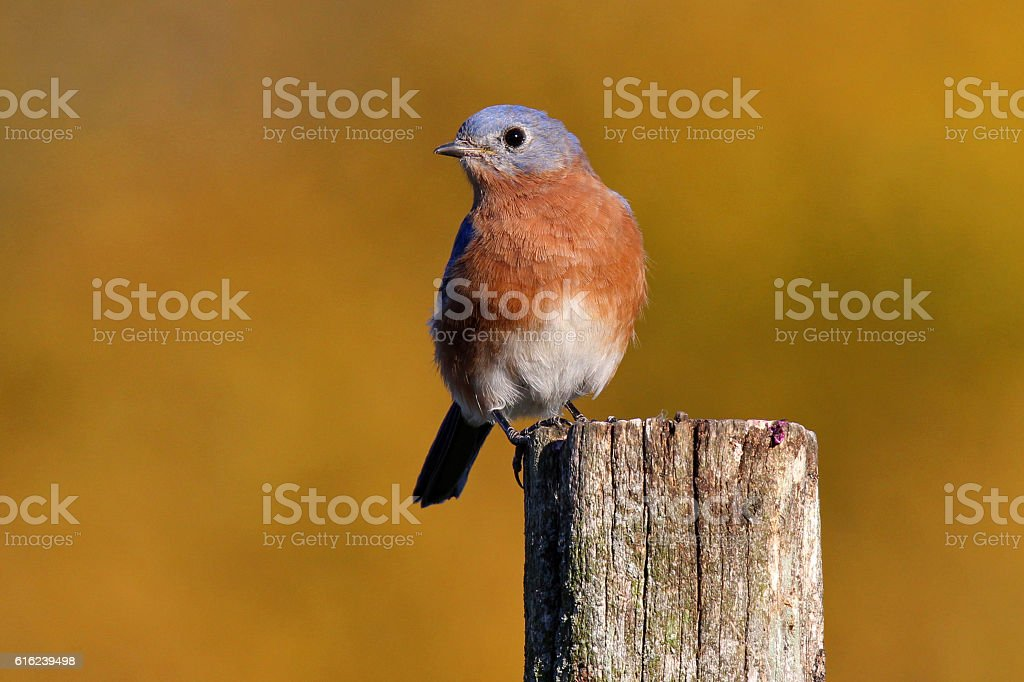 Bluebird in Fall stock photo