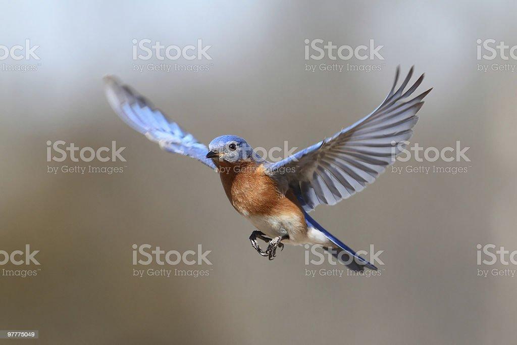 Bluebird In Flight stock photo