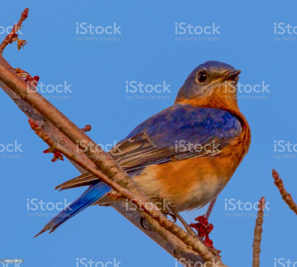 Bluebird in Maple Tree- Early Spring stock photo