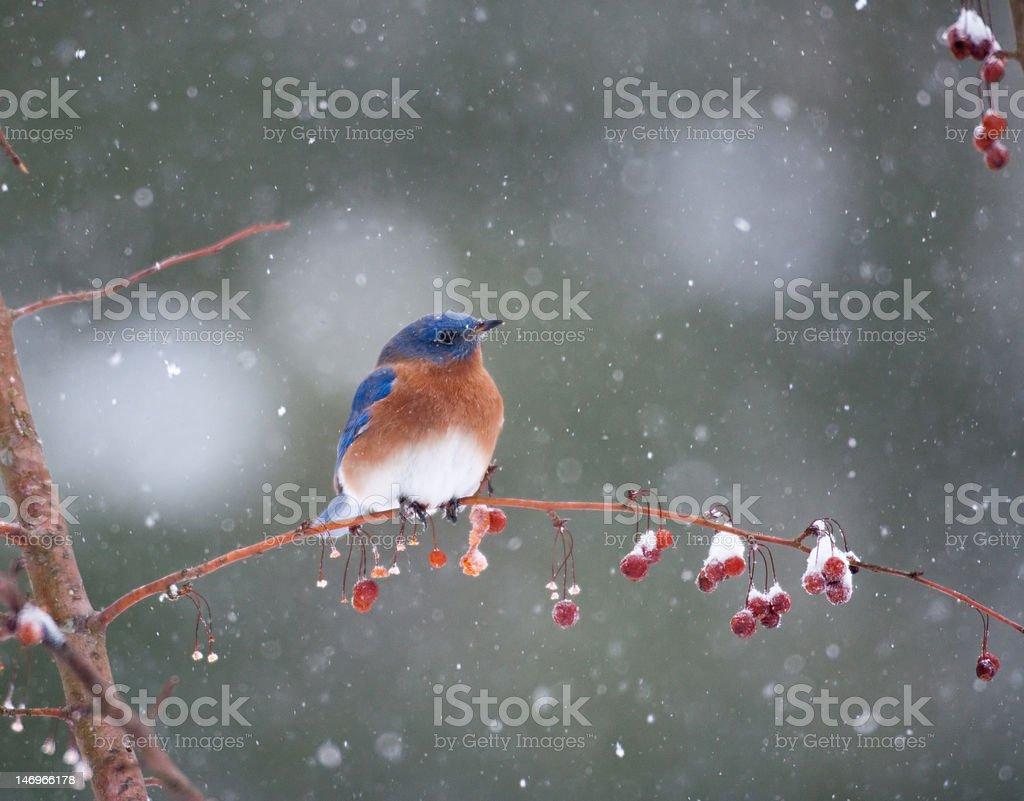 Bluebird in snowstorm royalty-free stock photo