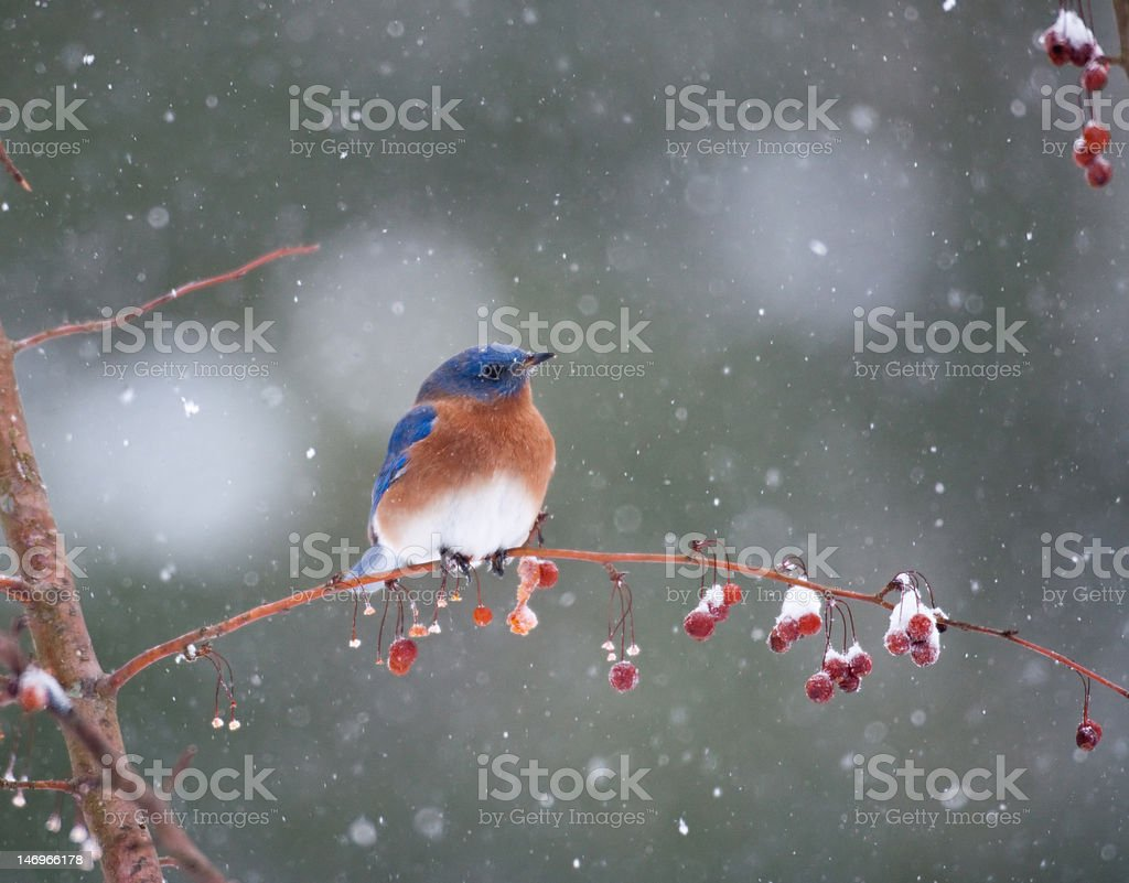 Bluebird in snowstorm stock photo