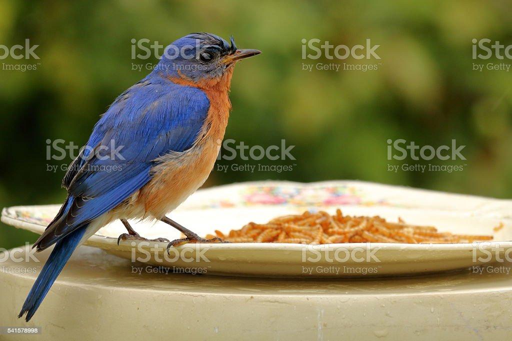 Bluebird in the Rain stock photo