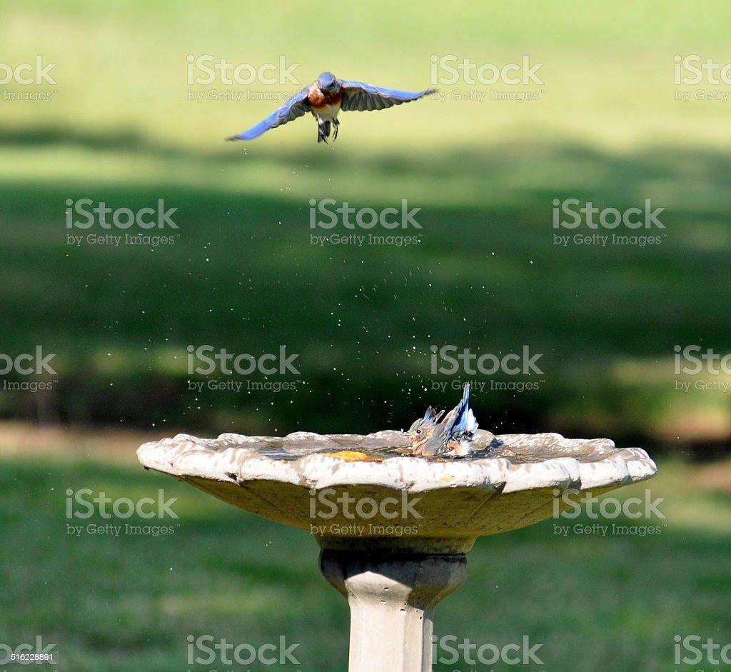 bluebird entrante, azulejo bañarse, baño para pájaros foto de stock libre de derechos