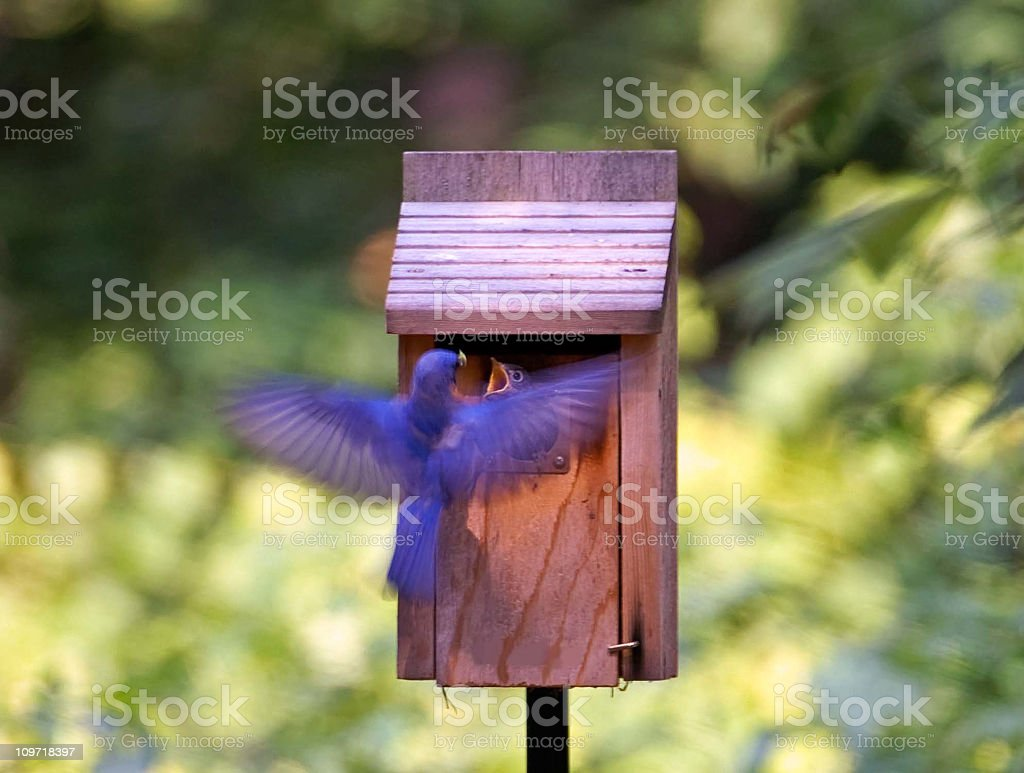 Bluebird Male Feeding Young stock photo