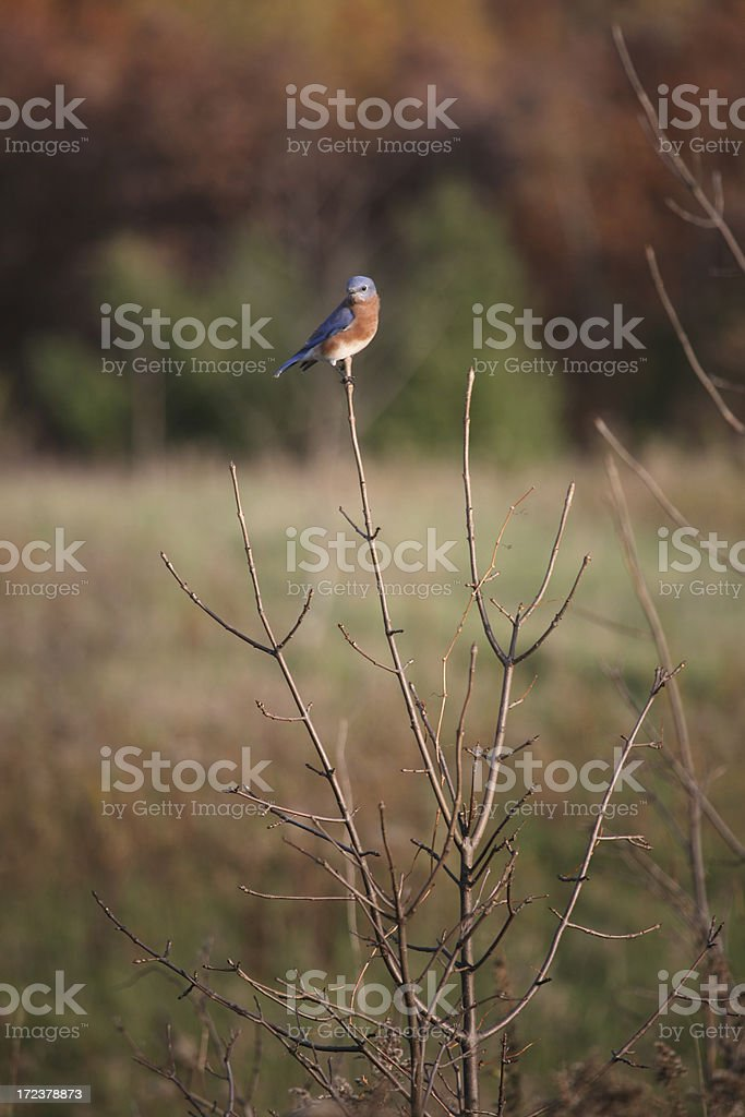 Bluebird of Happiness royalty-free stock photo