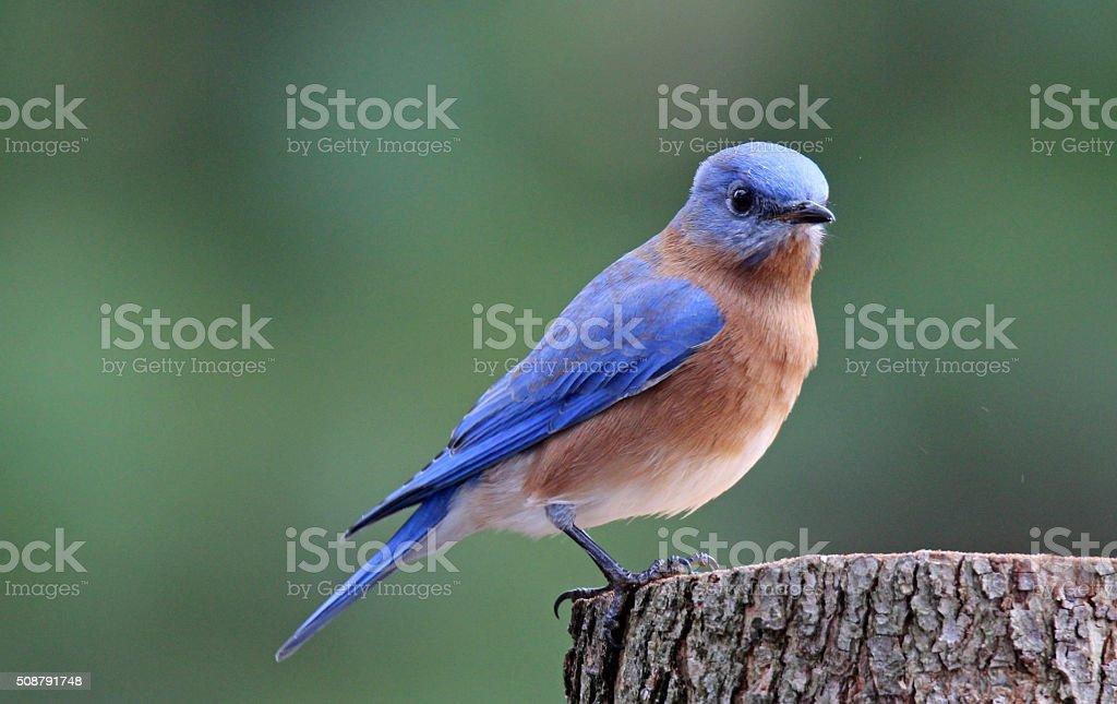 Bluebird on a Stump stock photo