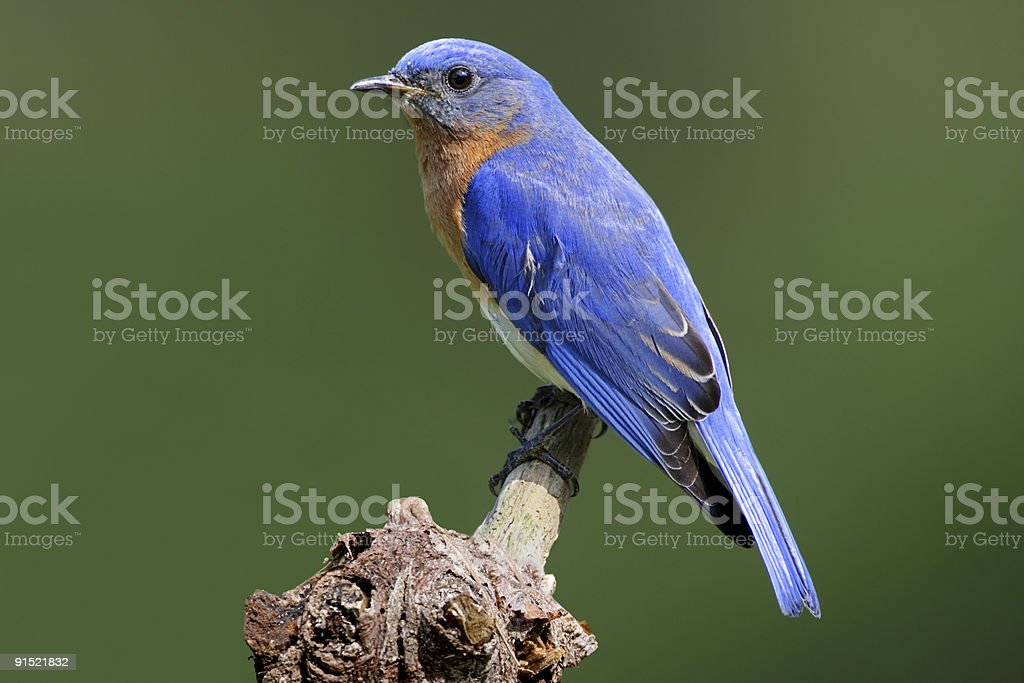 Bluebird on a wooden stump in front of blurry background royalty-free stock photo