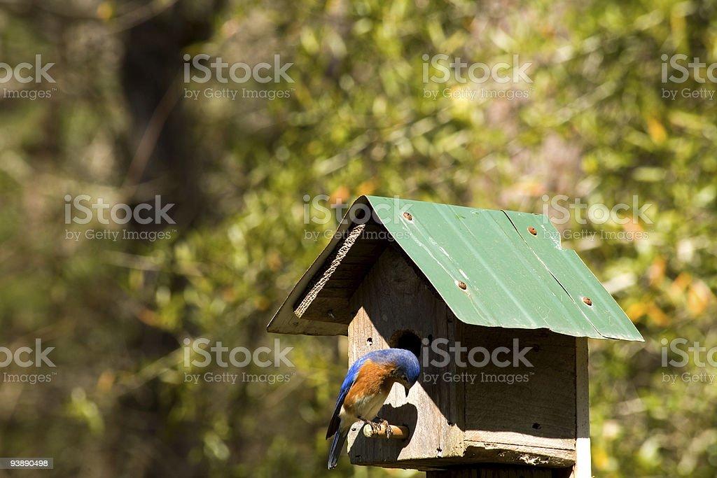 Bluebird on birdhouse perch stock photo