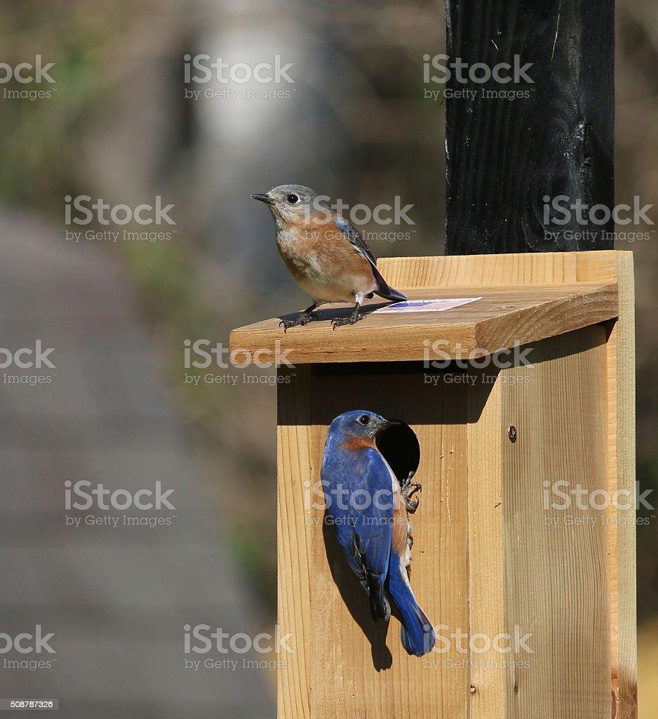Bluebird Pair at their New Bluebird House stock photo