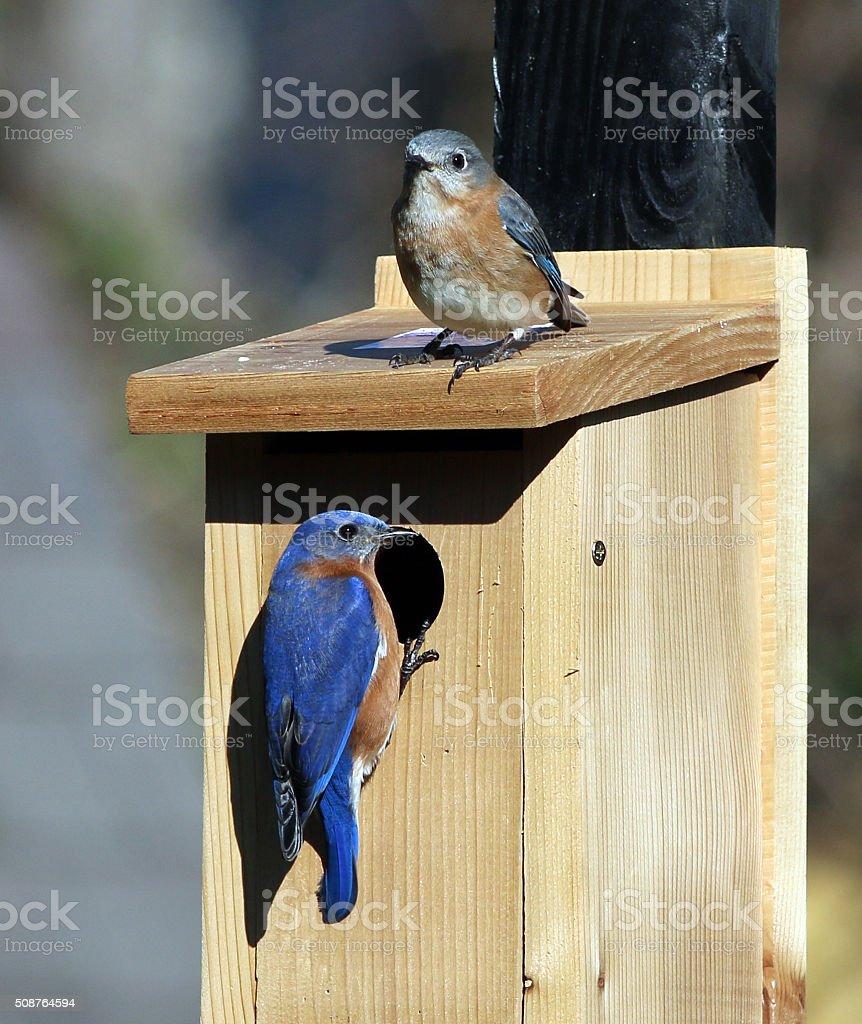 Bluebird Pair stock photo