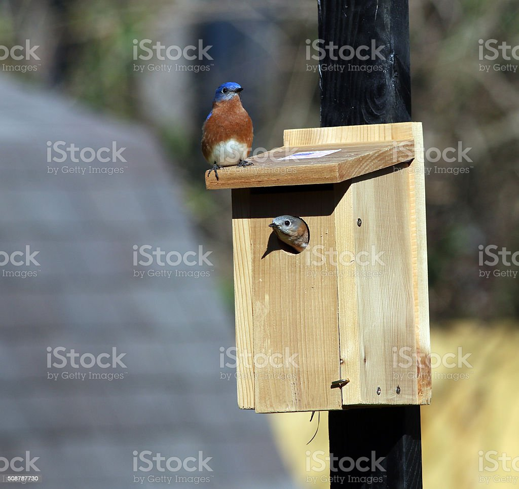 Bluebird Parents Getting Their New Home Ready stock photo