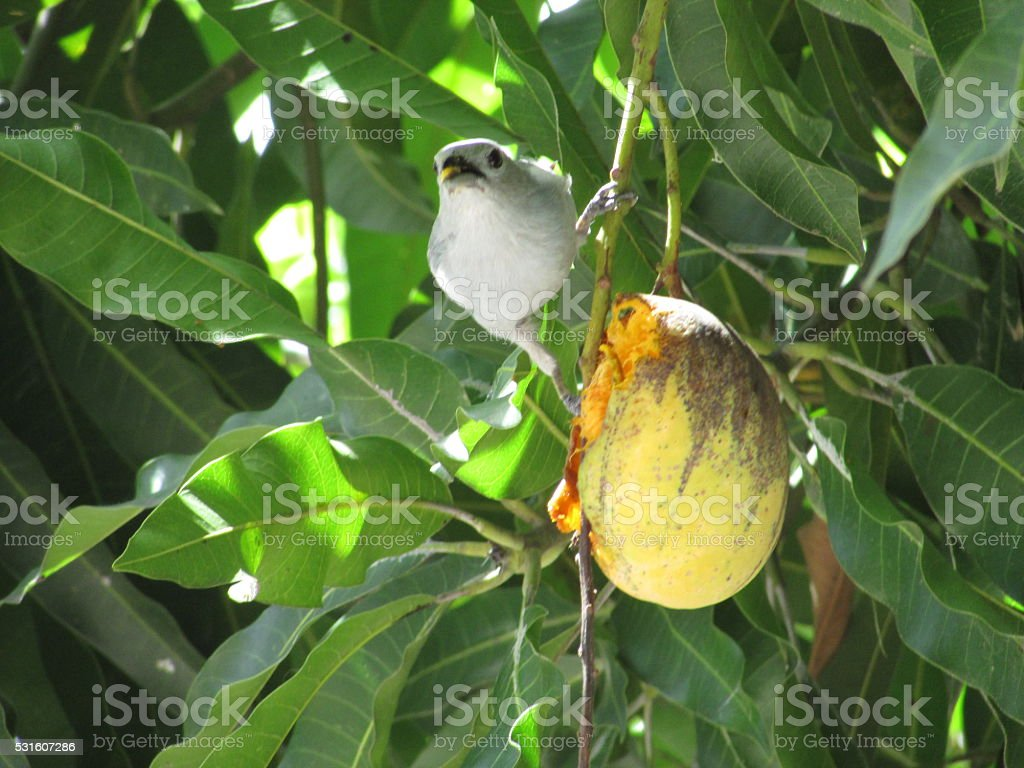 Bluebird pecking a mango fruit stock photo