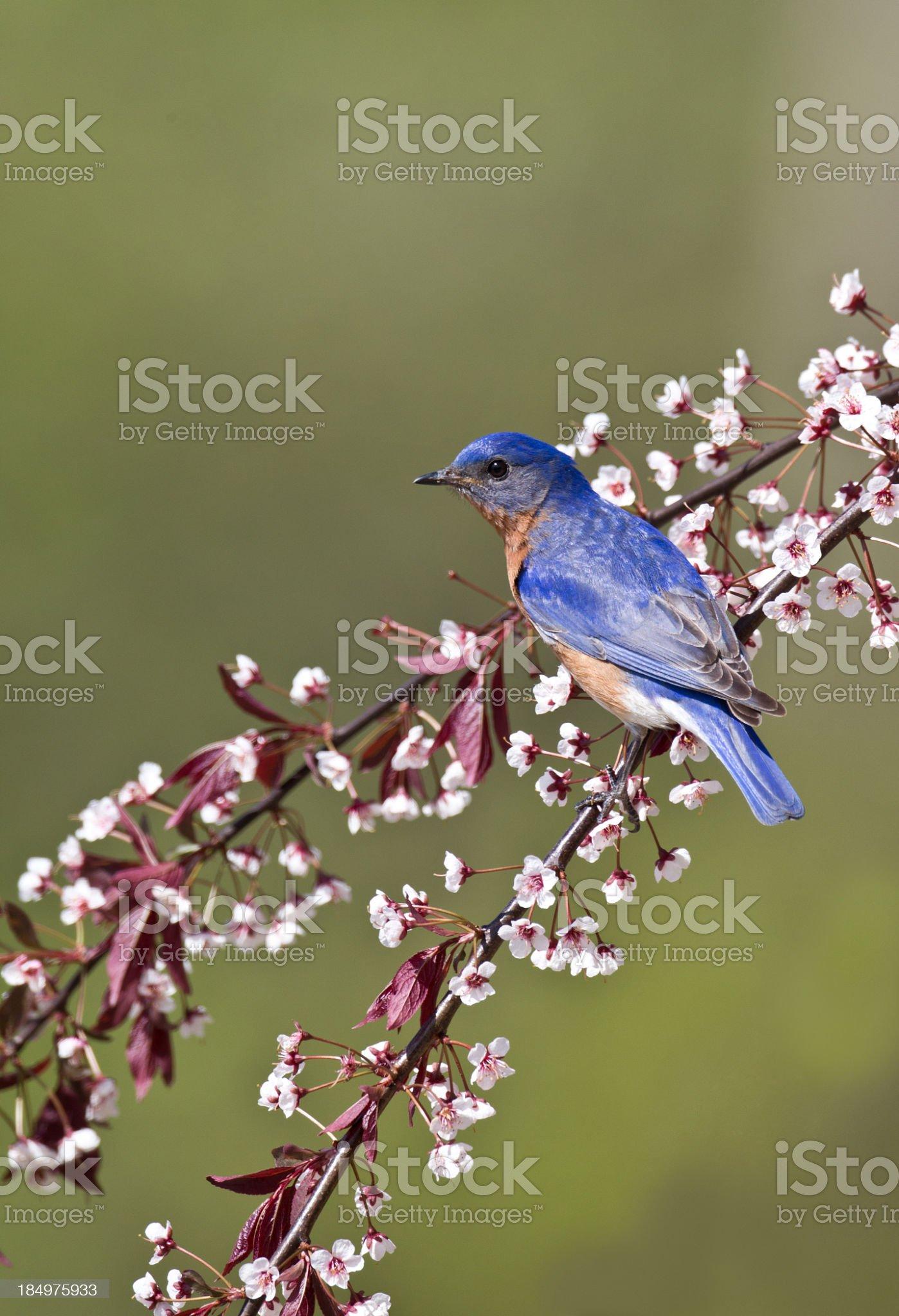 Bluebird royalty-free stock photo