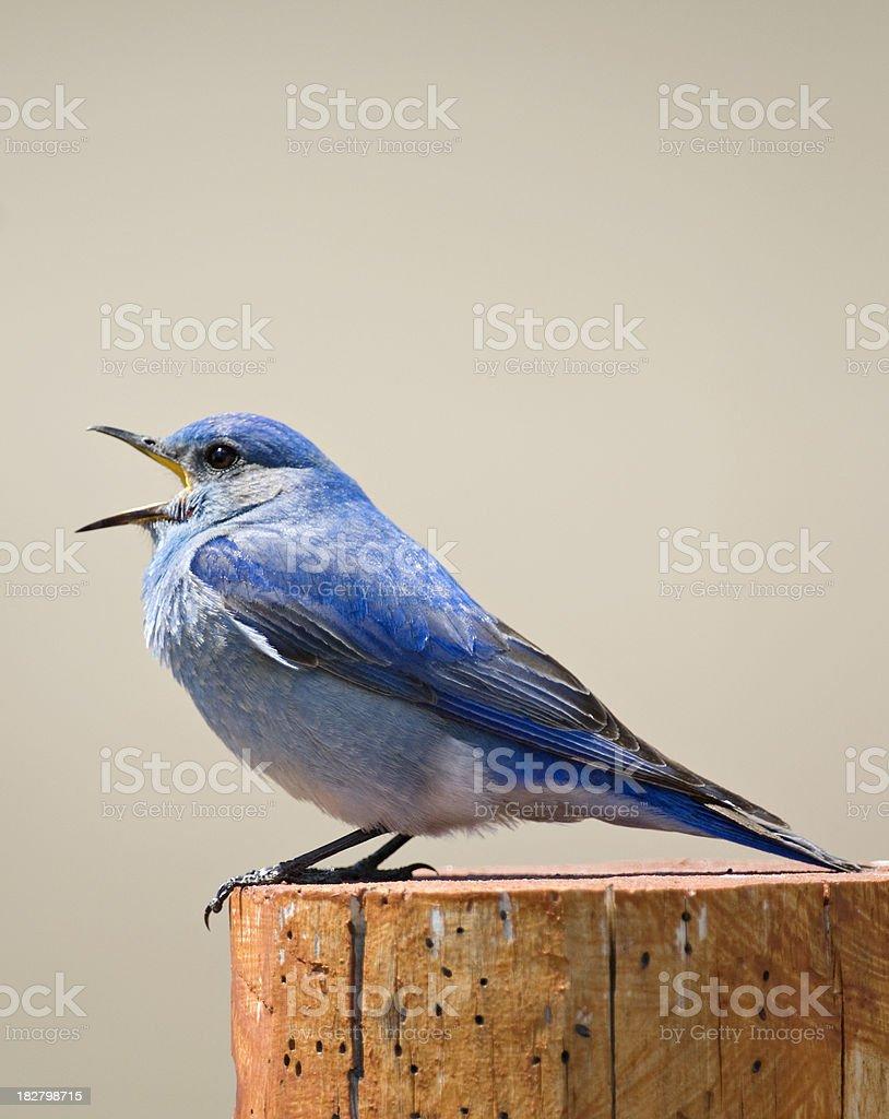 Bluebird singing stock photo