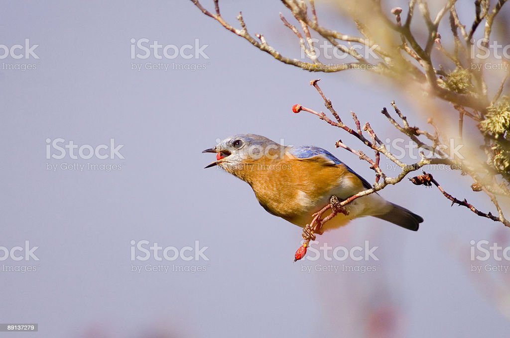 Bluebird swallowing a red berry royalty-free stock photo