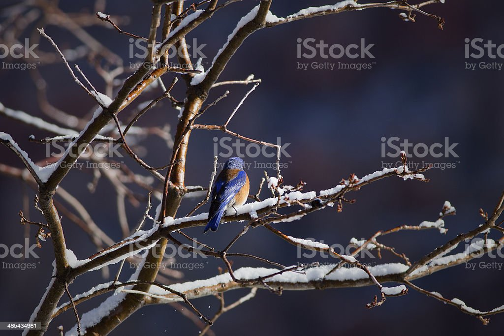 Bluebird Waiting for Spring stock photo