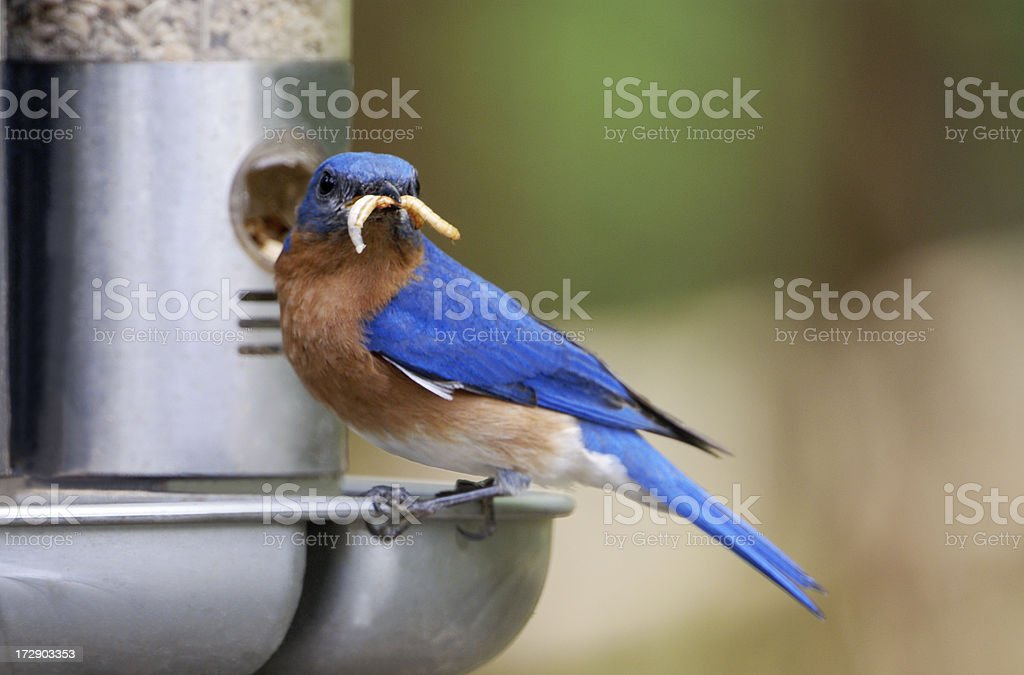 Bluebird with Meal Worm Mustache royalty-free stock photo
