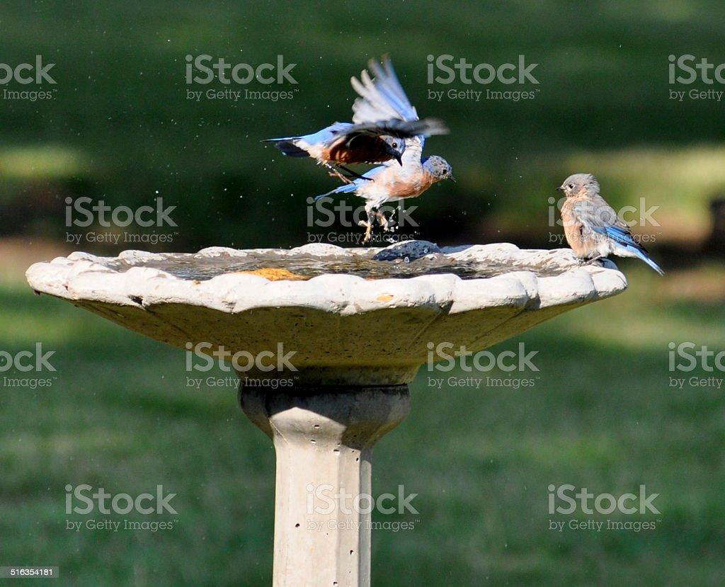 Bluebirds, baño para pájaros, entrada y salida foto de stock libre de derechos